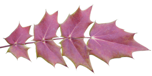 Autumn leaves with transparent background