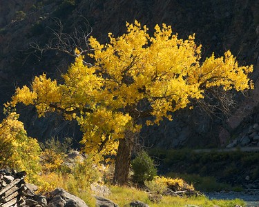 A cottonwood tree along the Arkansas river, just east of Texas Creek, Colorado (three states, in such a small area!)