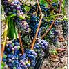 BC Grapes