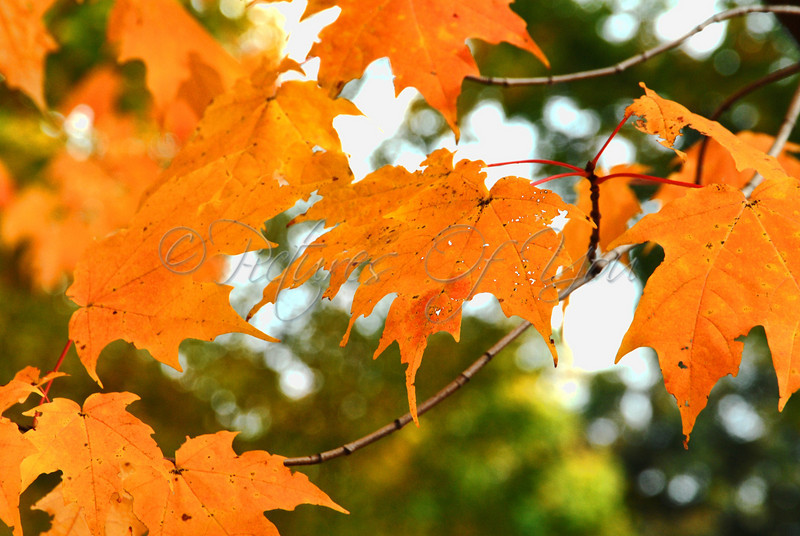 Orange Sugar Maple Leaves, Vermont