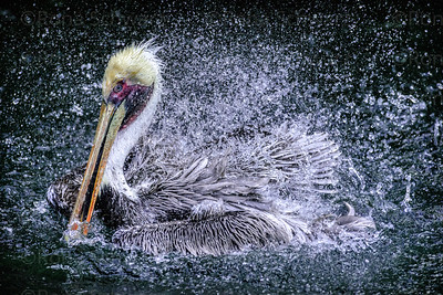 USA, Florida.  Brown Pelican, Pelecanus occidentalis