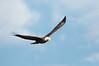 Bald Eagle. Lake Kissimmee, FL