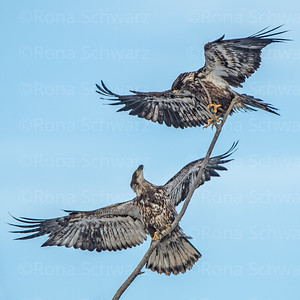 Juvenile Bald Eagle pair displaying aerial courtship behavior.