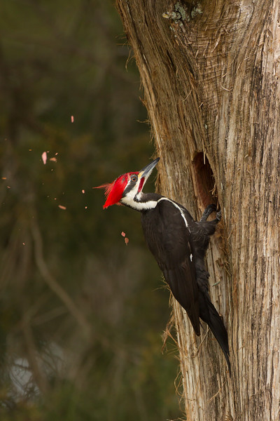 Pileated Woodpecker.  Lake Marian, FL.