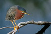 Green Backed Heron, Wakodahatchee Wetlands, FL
