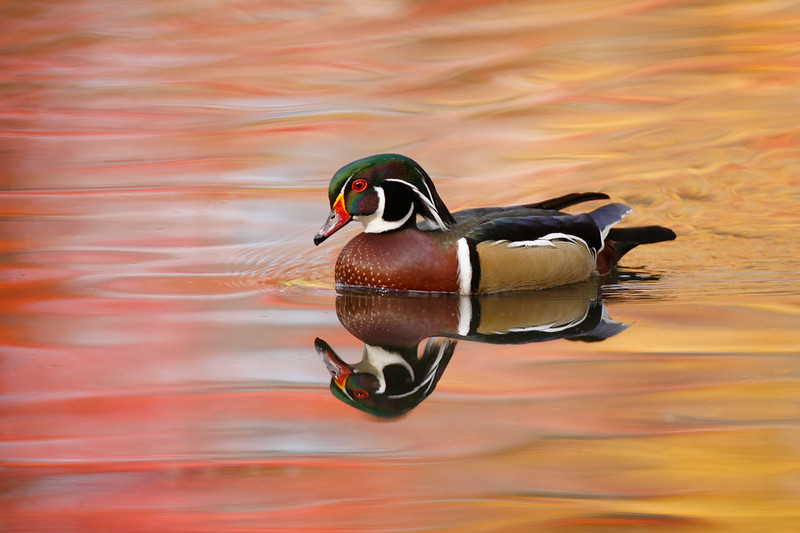 Wood duck and fall reflection. N. Chagrin Reserve, OH