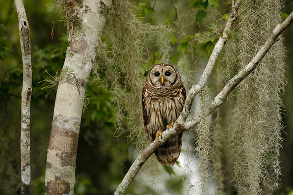 Barred Owl. Lake Marian, FL