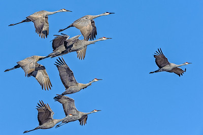 Sandhill Cranes in flight during the spring migration at Goose Pond Fish and Wildlife Area, Linton, Indiana.