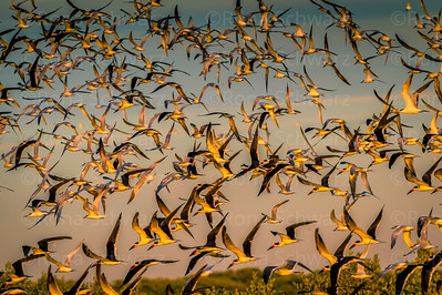 Fort De Soto Park, FLA.  A flock of black skimmers and mixed terns blast off at sundown.