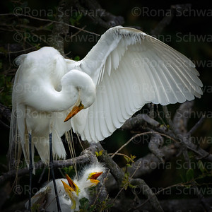 Great Egret mother shielding chicks with open wing. Alligator Farm Zoological Park, St. Augustine, Florida.