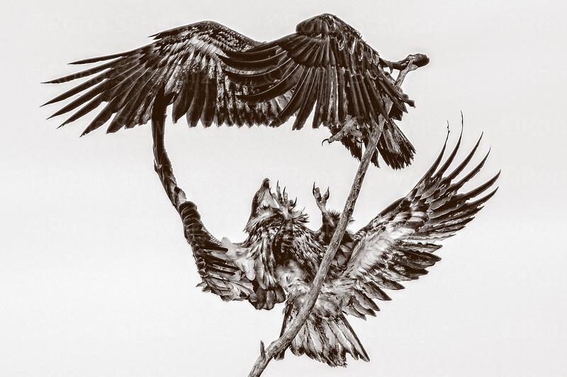 Juvenile Bald Eagle pair displaying aerial courtship behavior.