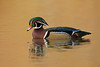 Wood Duck, North Chagrin Reserve, OH