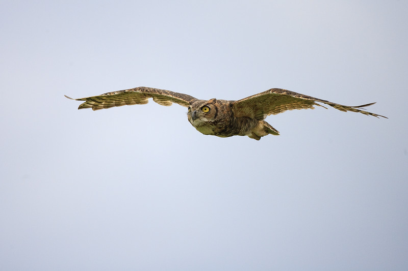Great Horned Owl.  Lake Kissimmee, FL.