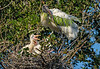 Adult Wood Stork with stick in mouth at nest with chicks.