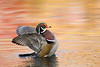 Wood Duck Drying Wings with Fall Maple Tree Reflections, N. Chagrin, OH