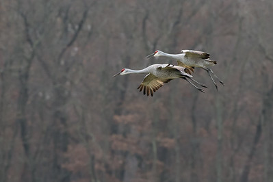 Sandhill Crane pair in flight during fall  migration.  Jasper-Pulaski Fish & Wildlife Area, Medaryville, Indiana.