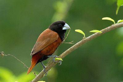 Balck-Headed Munia, Manado, Sulawesi, Indonesia