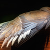 Mourning Dove.<br /> Fanning the feathers out after the rain.<br /> I mean the recent drenching.
