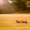 Golf Course Ducks