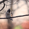 A little Tufted Titmouse on a cold gray day.