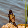 Common Grackle, thanks, Ethan for the ID.<br /> This needs to be larger than 1 MB   ...