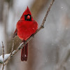 "Male Northern Cardinal.<br /> First snowfall this year, over nine inches of the white stuff.  We have a community (at least 30) cardinals hanging out at the ""all you can eat feeder buffet""."