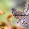 Juvenile Dark-eyed Junco.