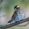 White-throated Sparrow<br /> Shot in early Jan. 2018, the date was off.  I just got my camera and didn't yet set the date.  took a while to figure it out, this camera has over 2 million menu items to go through.  Well, this is a small exaggeration.