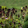 Goldfinch and coneflowers through the window.