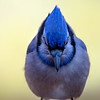 Blue Jay Portrait<br /> Head on shot.