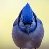 Blue Jay Portrait<br /> Head on shot.