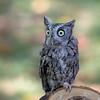 Captive Eastern Screech Owl