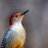 Male Red-bellied Woodpecker.