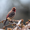 House Finch, Male.<br /> The couple decided to nest just outside our front door.  He keeps watch at the nearby weepy cherry tree the last few days.
