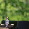 Red-bellied Woodpecker, coming for a visit.