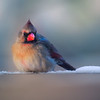 Northern Cardinal. Pretty Girl.