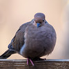 Mourning Dove.<br /> Her feathers are all puffed out, kind of a protection from the cold.