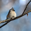 Tufted Titmouse on a Cold Day