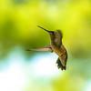 Hummingbird Humming bird