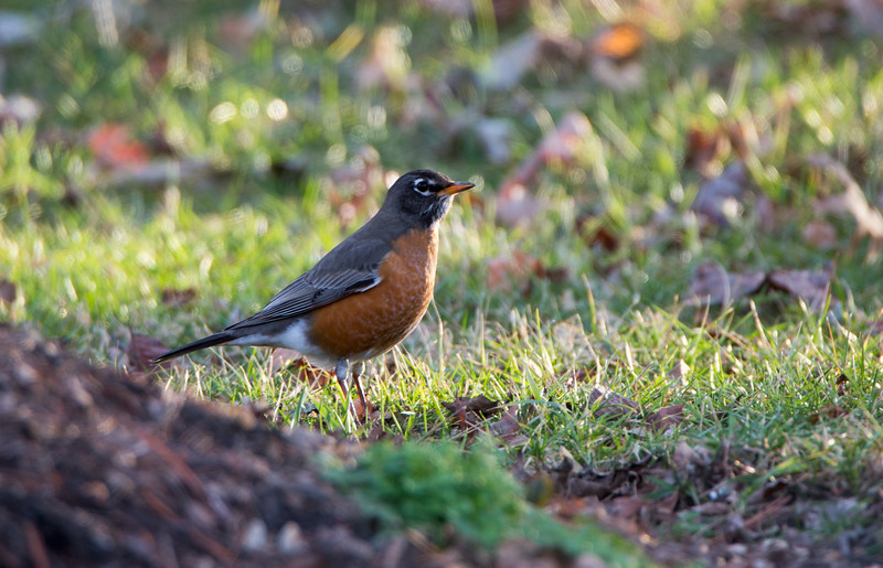American Robin. And they come in droves, hundreds at a time, and wondering what they are going for in our yard, maybe grubs, it's been below freezing here, so not many worms around.
