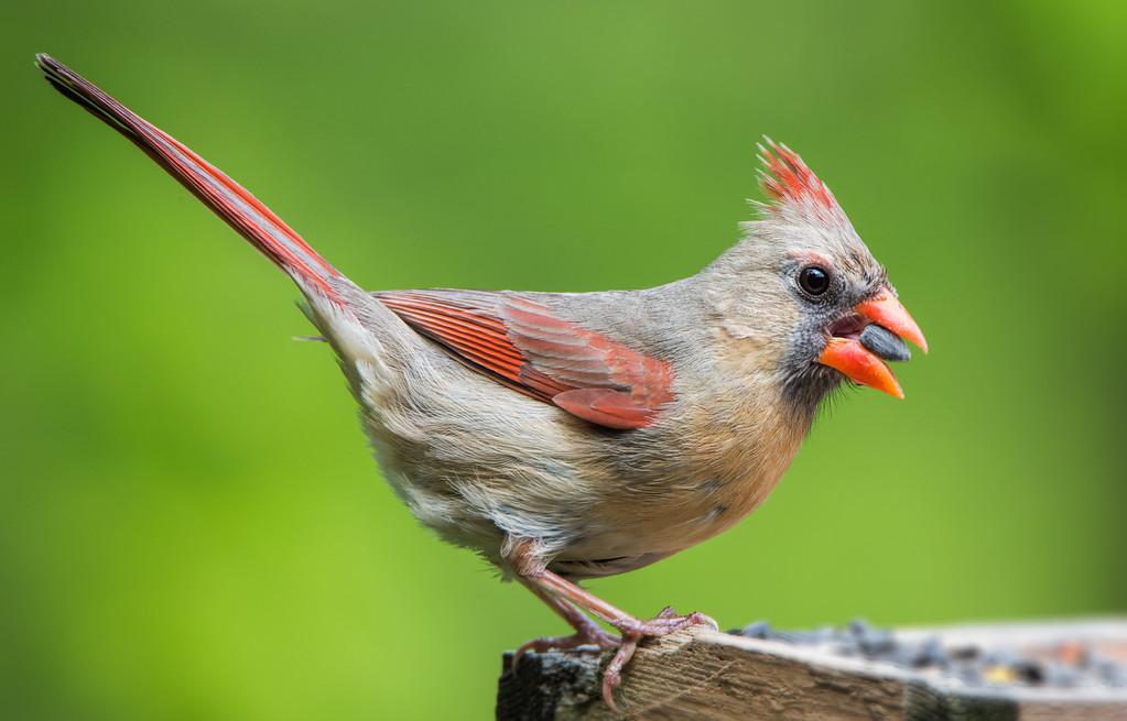 Female Northern Cardinal.<br /> Loves sunflower seeds.