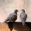 Mourning Doves In Love<br /> Jake pointed them out and they were so sweet and really caring toward each other, so amazing.