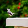 (Tropical?) Mockingbird<br /> Mexico