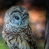 Barred Owl.<br /> They concentrate on their prey, so much so, that they don't see the car and then they slam into it, and as a result they can't see, or worse, there were three owls all with the same story, hit and run.