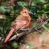 Love this Cardinal, so proud.<br /> Wonder if it's a female? Maybe a juvenile, or maybe in moult?<br /> Hopefully not sick.