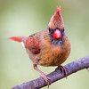 Curious Female Northern Cardinal
