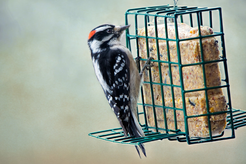 Male Downy Woodpecker.<br /> The family is hungry, it's cold and there's nothing to eat, so they come to the feeders, and seem to like the suet the best.
