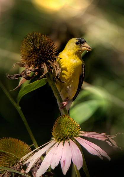American Goldfinch, feeding on spent coneflowers.