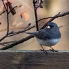 Dark-eyed Junco. It's funny how you grow attached to them. Just from watching how they are, you know, they act just like people.