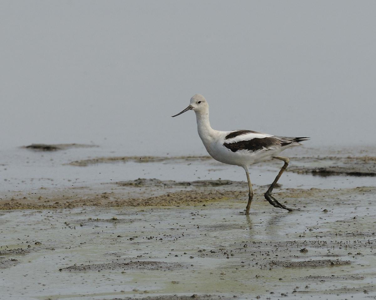 Americal Avocet. Riverlands Migratory Bird Sanctuary. St. Charles County, Missouri. September 2009.